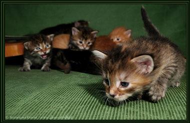 Koty I Kocięta Syberyjskie W Hodowli Rasowy Kot Syberyjski