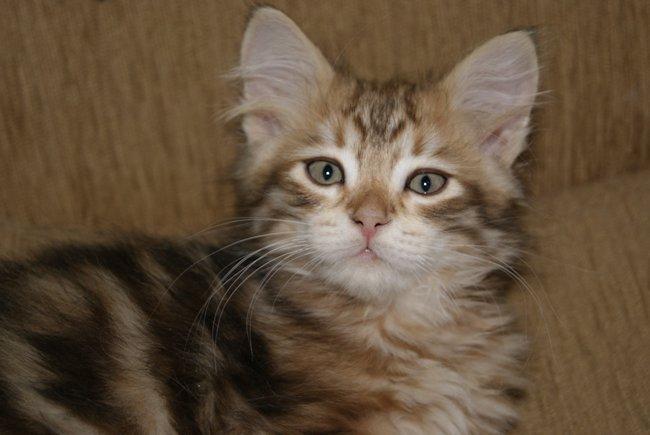 Syberyjskie Koty W Hodowli Zwycięzcapl Nasze Kotki I Kocięta